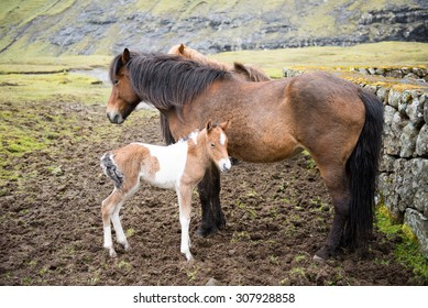Horses and foal on the Faroe Islands