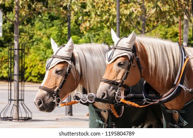 Horses in front of a carriage