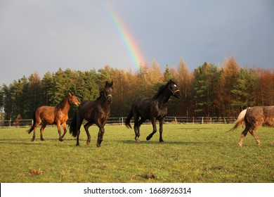 Horses gallop in front of a beautiful rainbow