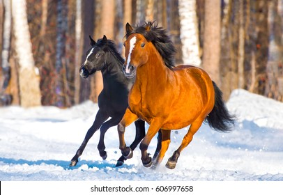 Horses galloping on snow