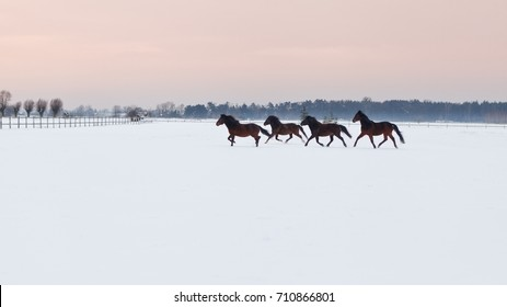 Horses galloping on snowy paddock