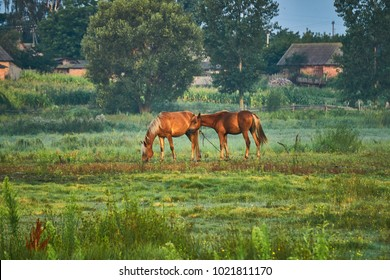 The horses graze in the early morning on the meadow. Landscape with a transparent fog and walking animals. Wet air of a warm summer day.