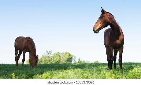horses graze in fresh grass of spring meadow under blue sky near utrecht in the netherlands