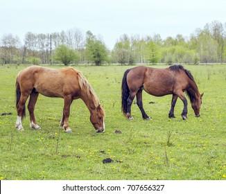 Horses graze in a meadow