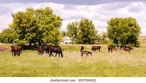 Horses graze in a meadow. Summer.