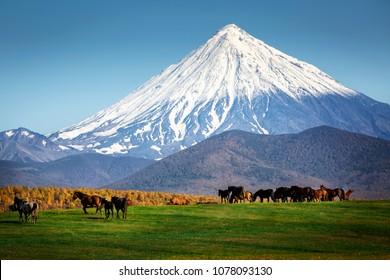 Horses graze on the field under the volcano Koryaksky. Autumn in the Kamchatka Peninsula.