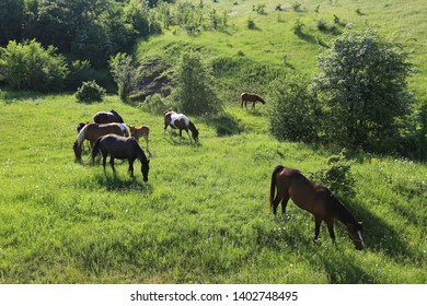 Horses graze in the summer on a green meadow where the hills and trees
