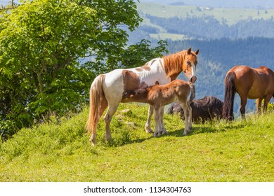 The horses is grazing in beautiful mountains, Ukraine