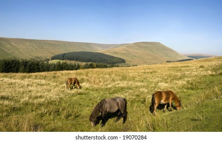 horses grazing in the brecon beacons national park powys, wales uk pen-y-fan highest peak of the beacons behind