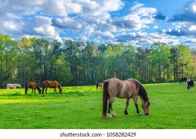Horses Grazing Eating in a Field Field of Horses