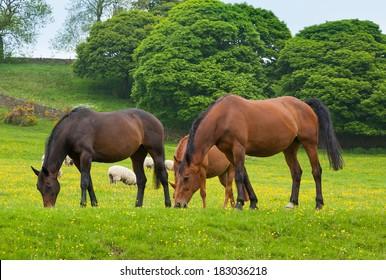 Horses grazing is green pasture.
