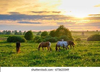 Horses are grazing in the meadow at sunset