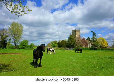 Horses grazing peacefully in the warm spring sunshine, St Mary's church can be seen in the background, Frampton on Severn, Gloucestershire, United Kingdom