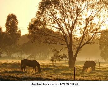 Horses grazing at sunrise remote Australia