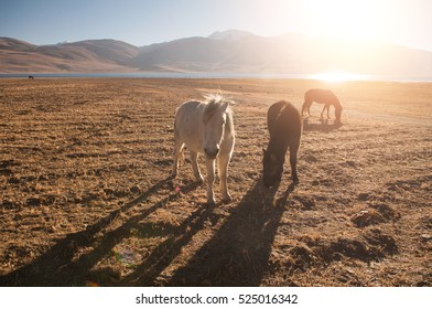 horses grazing at tsomoriri ladakh