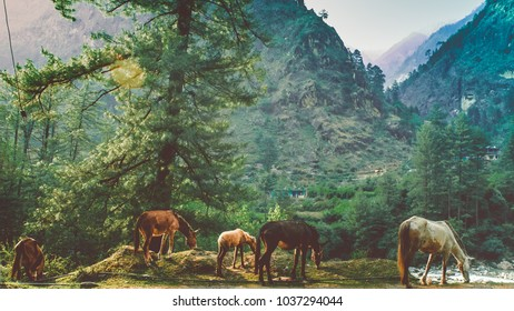 Horses grazing in the Valley of Kasol in Himachal Pradesh, India 2017