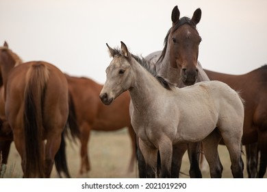 horses grazing in the wilds of Montana. American quarter horse herd Mares,foals,and stallion.