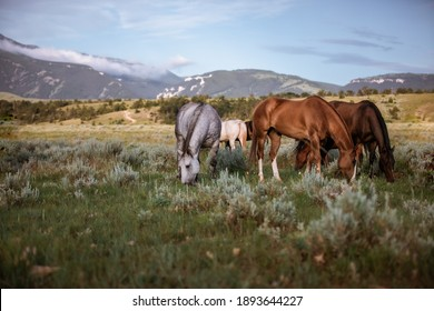 Horses grazing in the wilds of Montana. In front of Pryor mountains in a meadow. Ranch horses in the west Near Lovell Wyoming, and Billings Montana