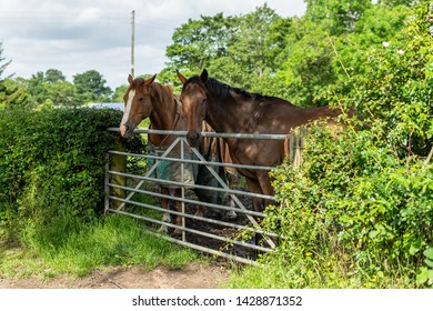 Horses at Great Ayton. North Yorkshire, north east of England.