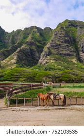 Horses for horseback riding at Kualoa Ranch in Kaneohe, Oahu Island, Hawaii, USA. At Kualoa Lunch you can enjoy active tours like 4-wheel buggies and horseback riding