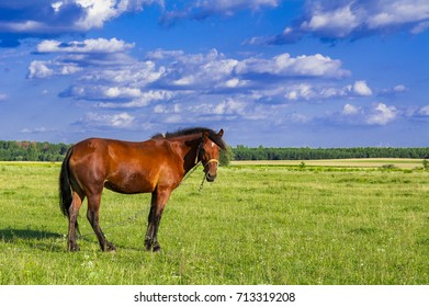 Horses in a meadow. Beautiful Horse and Summer field on blue sky background.