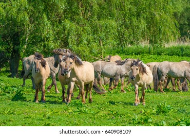 Horses in a meadow in wetland in spring