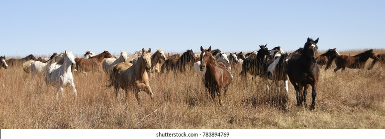 Horses in nature, grazing, running, enjoying a simple life.