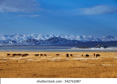 Horses near Khan-Tengry mountan
