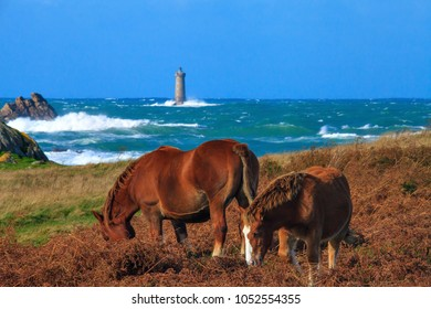 Horses on the brittany coast, near the fout lighthouse, France