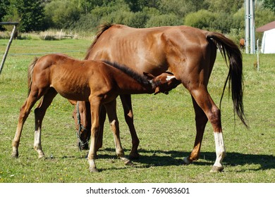 Horses on a farm in a summer meadow. Mare and foal in the meadow
