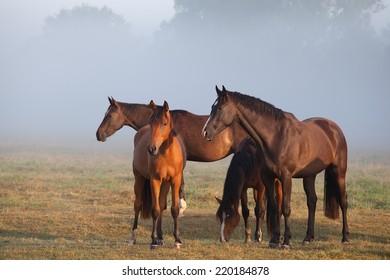 horses on foggy pasture at sunrise