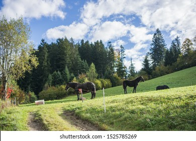 Horses on a green hill in Austrian countryside between Salzburg to the famous Hallstatt village on this beautiful day.