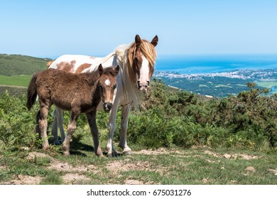 Horses on La Rhune mountain in the Basque Country, France