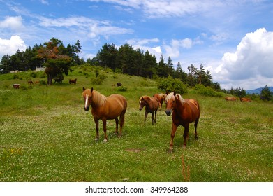 Horses On A Mountain Pasture