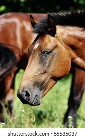 Horses on the pasture. One horse looking at camera. Narrow depth of field. Summer.