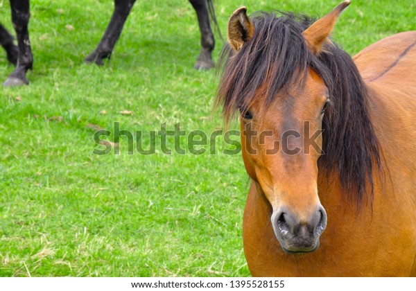 Horses on a pasture. Spring, snow on peaks. Liptov region, High Tatras mountains national park, Slovakia. The Hucul or Carpathian is a pony/small horse breed originally from the Carpathian Mountains.