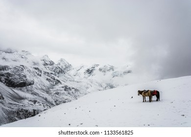 Horses on the Snow-covered Thorong La pass on a cloudy day, Nepal.