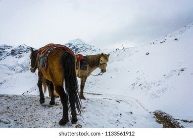 Horses on the Snow-covered torong La pass on a cloudy day, Nepal.
