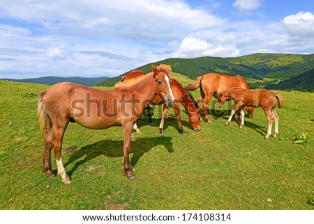 Horses on a summer mountain pasture