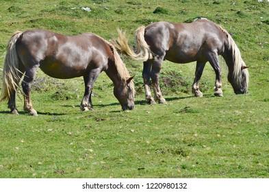 horses in the pasture, mountain Dobratsch, Karawanken alps, Austria