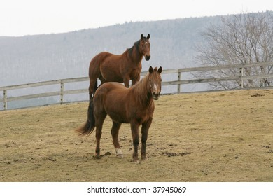 Horses in pasture on a foggy morning