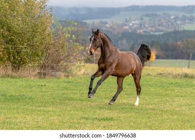 Pferde auf der Weide beim Fallen und Galopp.