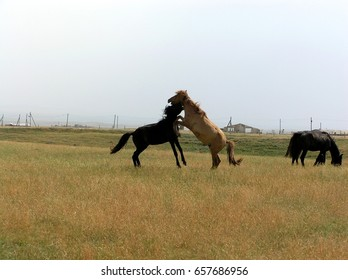 Horses play or fight in the steppe