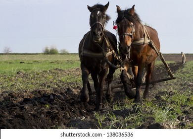 Horses plowing the land the old traditions.