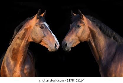 Horses portrait on black background. Panorama for web