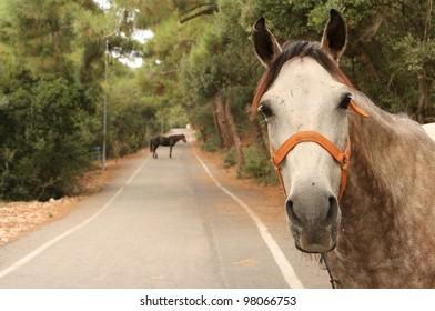 Horses at Princes island ( Buyukada - Big Island) ,  Istanbul, Turkey