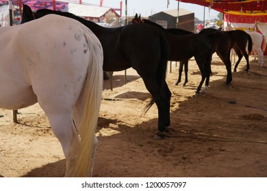 Horses from the Pushkar Mela or other know as the Pushkar Festival that happens annually in a small town north of India named Pushkar.