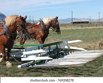 Horses at ready to move a hay stacking led for loading hay on a hay rack or beaver slide.  An old-style technique, but often used today.