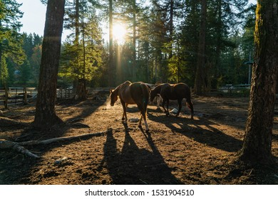 Horses Resting in the Morning Sunlight at a Paddock at a Rescue Horse Ranch