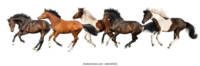 Horses run gallop isolated on white background
